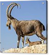 Male Nubian Ibex Acrylic Print