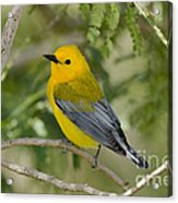 Male Prothonotary Warbler Acrylic Print