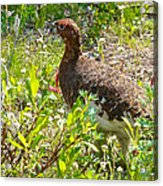 Male Ptarmigan Along Savage River Trail In Denali Np-ak Acrylic Print