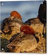 Male Readhead Duck Acrylic Print
