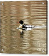 Male Red Breasted Merganser At Sunrise Acrylic Print