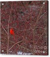 Male Red Cardinal In The Snow Acrylic Print