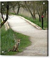 Male Red Fox Vulpes Vulpes Acrylic Print