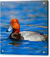 Male Red Head Duck Acrylic Print