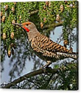 Male Red-shafted Northern Flicker Acrylic Print