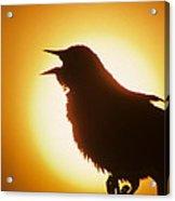 male Red-winged Blackbird singing at sunrise Acrylic Print
