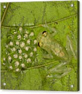 Male Reticulated Glass Frog  Guarding Acrylic Print