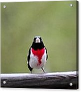 Male Rose-breasted Grosbeak Acrylic Print