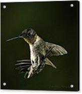 Male Ruby Throat Humming Bird Acrylic Print