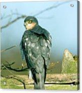 Male Sparrowhawk Acrylic Print