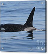 Male Transient Orca In Monterey Bay 11-10-13 Acrylic Print