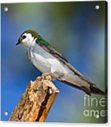 Male Violet-green Swallow Acrylic Print