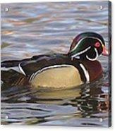 Male Wood Duck  Acrylic Print