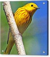 Male Yellow Warbler Acrylic Print