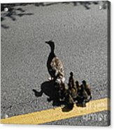 Mallard Crossing 3 Acrylic Print