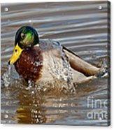 Mallard Drake Bathing Acrylic Print