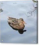 Mallard Duck Smile Acrylic Print