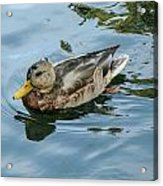 Solitaire Mallard Duck Acrylic Print
