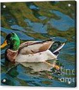 Mallard Duck Acrylic Print