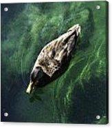Mallard Duck On Green Pool Acrylic Print