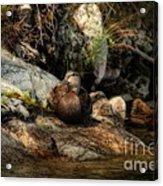 Mallard Duck Onaping 2 Acrylic Print