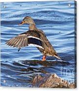 Mallard Duck Showing Off Acrylic Print