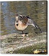 Mallard Duck Stretch  Acrylic Print