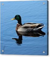 Mallard Duck With Reflection On The Water Acrylic Print