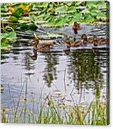 Mallard Ducks In Heron Pond In Grand Teton National Park-wyoming  Acrylic Print