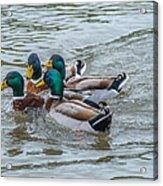 Mallard Ducks In Vee Formation Acrylic Print