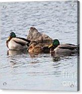Mallard Ducks Sleeping Acrylic Print