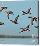 Mallard Flock Flying Acrylic Print