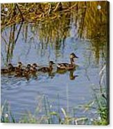 Mallard Hen And Ducklings Acrylic Print