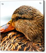 Mallard Hen Close Up Acrylic Print