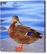 Mallard Hen Acrylic Print