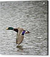 Mallard In Flight Acrylic Print