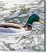 Mallard In Froth Acrylic Print