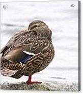 Mallard In The Rain Acrylic Print