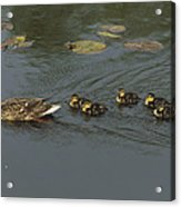 Mallard Mother With Ducklings Acrylic Print