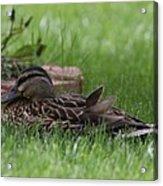 Mallard Nesting Acrylic Print