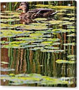 Mallard Pond Acrylic Print