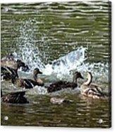 Mallard Water Party 2 Acrylic Print