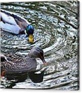 Mallards In The Creek Acrylic Print