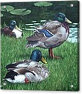 Mallards On River Bank Acrylic Print by Martin Davey