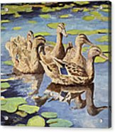 Mallards Acrylic Print