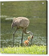 Mama And Chick Acrylic Print