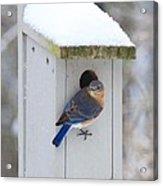 Mama Blue Bird In Winter Acrylic Print