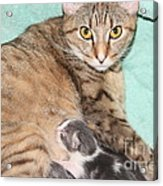 Mama Cat And Her Kittens Acrylic Print