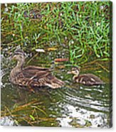 Mama Duck And Baby Acrylic Print