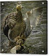 Mama Duck Protecting Her Babies Acrylic Print